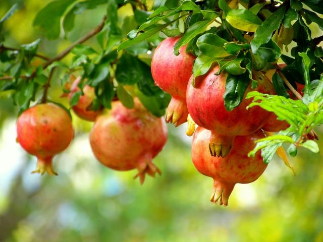 木に実った朱色の柘榴