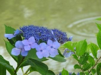 雨の中の藍色のアジサイ
