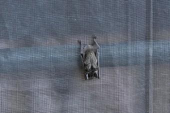 ネットに止まっているコウモリ