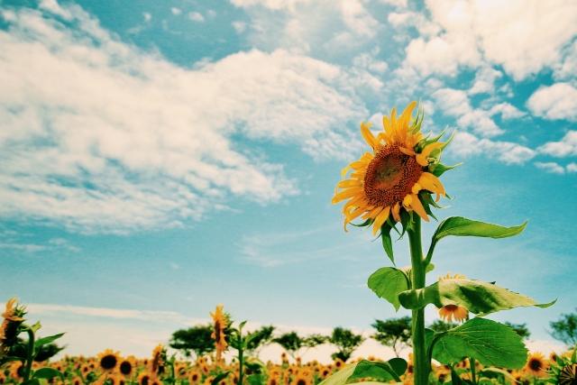 ひまわりと夏の空