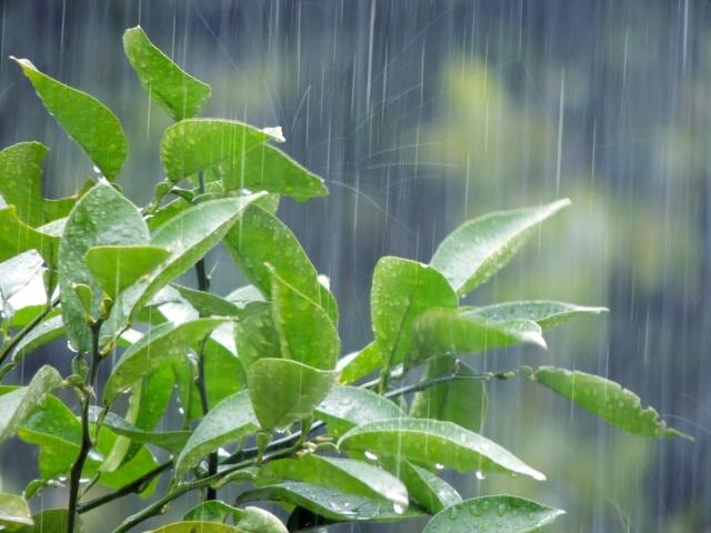 雨に打たれる木