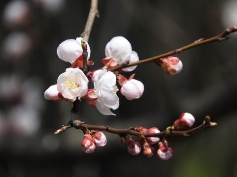 蕾を持ち始めた桜