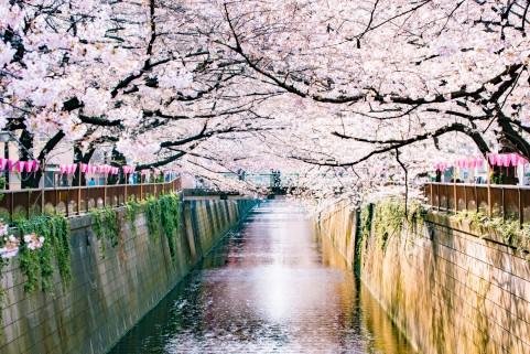 川沿いに彩る満開の桜