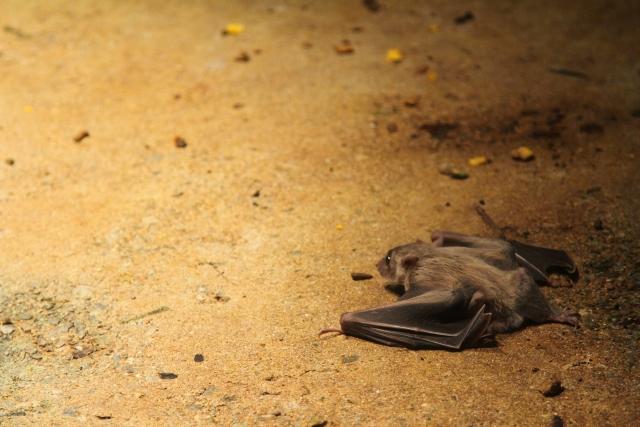 地面で一休みしているコウモリ