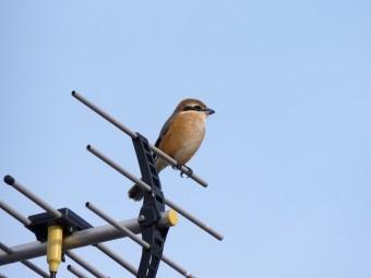 アンテナの上に止まっている小鳥