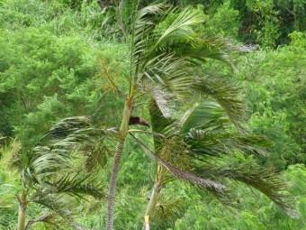 強風に煽られるヤシの木