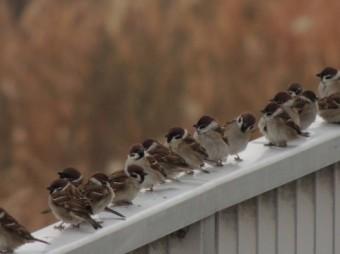 手すりに沢山留まっている雀